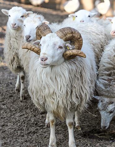 Michaelshof Sammatz, Haus der Natur, Seminar-Rückblick-Teaser, Alte Nutztierrassen, Haltung & Pflege – Schafe | Mai 2019
