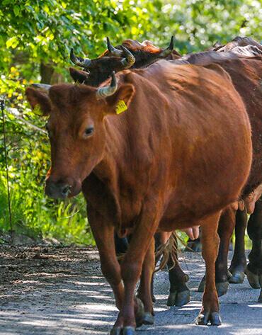 Michaelshof Sammatz - Seminar - Alte Nutztierrassen - Kühe